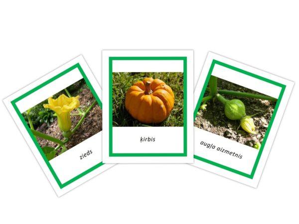 Ķirbis – Attīstības cikls – 3 daļīgas kartītes