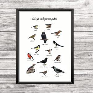 Latvijā sastopamie putni (plakāts)