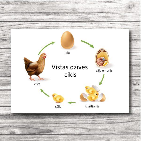 Vistas dzīves cikls- plakāts un kartītes