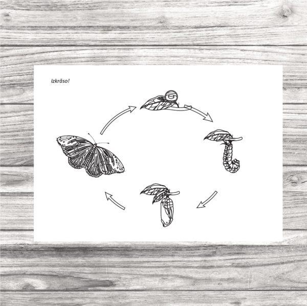 Tauriņa dzīves cikls un tauriņa dzīves cikla kartītes.