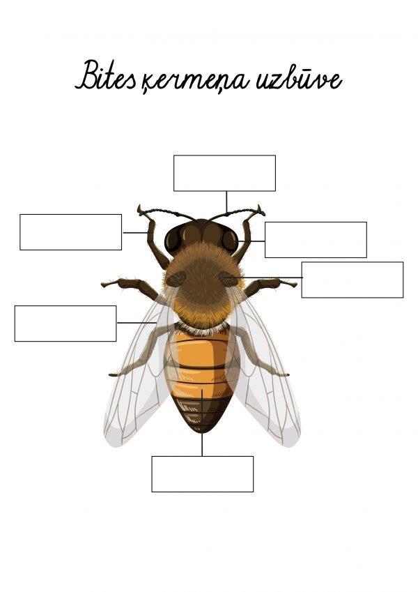 Bites ķermeņa uzbūve