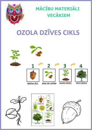 OZOLA DZĪVES CIKLS
